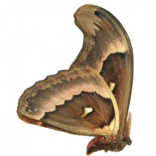 Attacus crameri