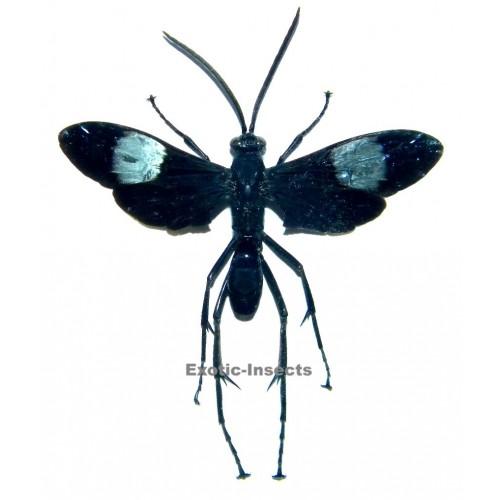 Hemipepsis speculifer diselene (40-49mm)