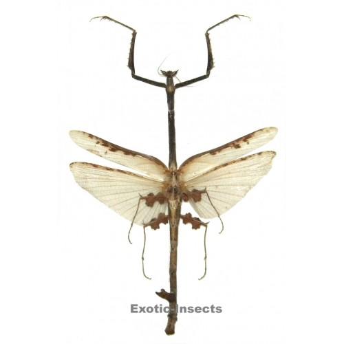 Toxodera integrifolia