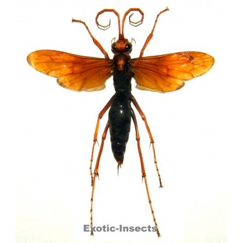 Hemipepsis sp.02 (50-59mm)