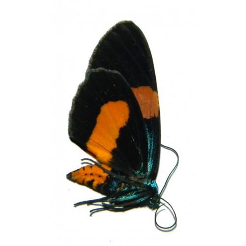 Callhistia grandis