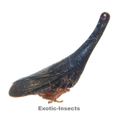 Membracidae sp.30