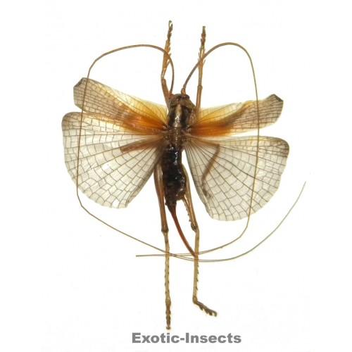 Gryllidae sp.08