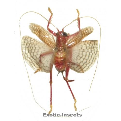 Gryllidae sp.09