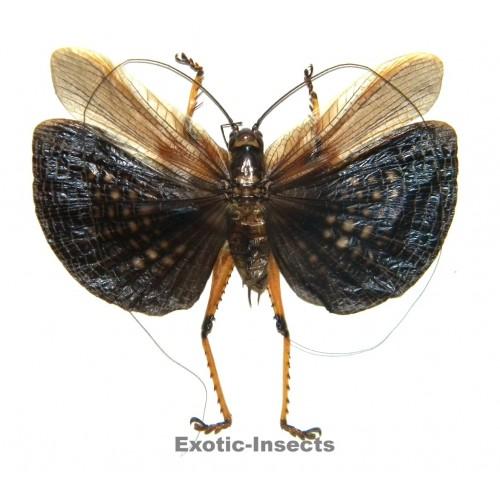 Gryllidae sp.10