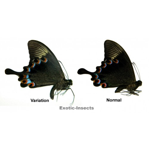 Papilio paris gedeensis VARIATION