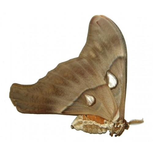 Coscinocera eurystheus