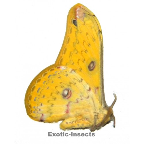 Loepa cynopis