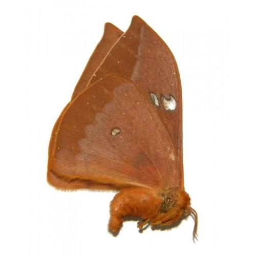 Cricula trifenestrata banggaiensis