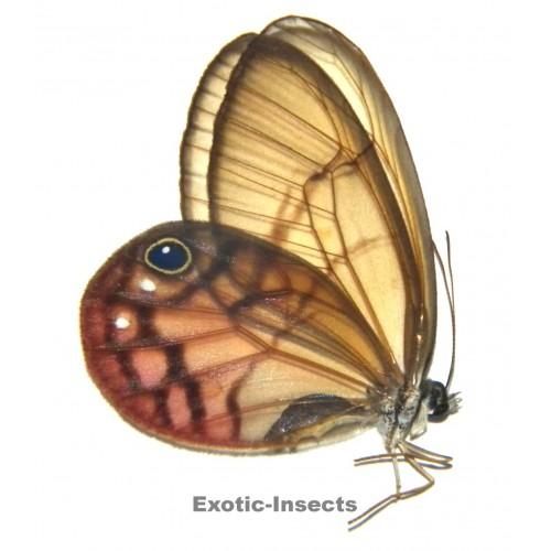 Citherias perita aurorina