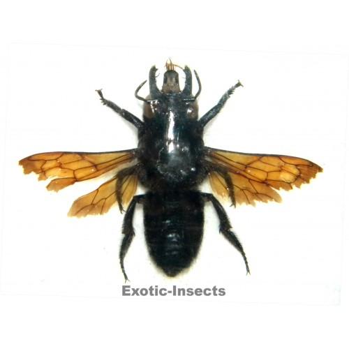 Megachile sp.02