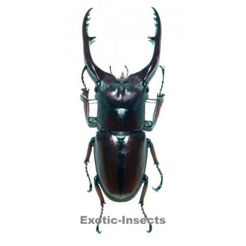 Prosopocoilus astacoides pallidipennis (60-64mm)