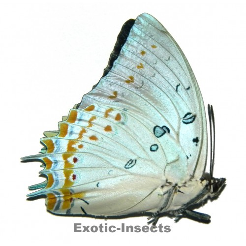 Polyura delphis concha