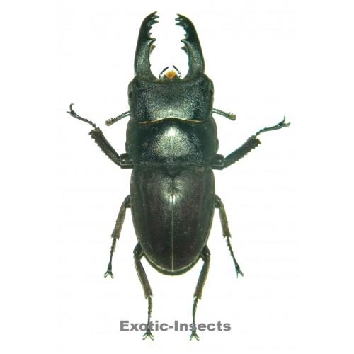 Dorcus taurus subtaurus (40-44mm)
