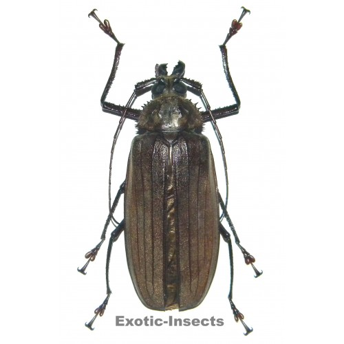 Xixuthrus microcerus (female)