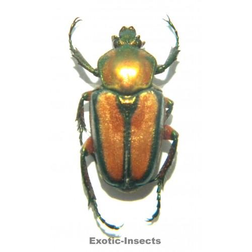 Phaedimus sibuyan
