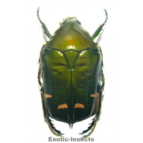 Protaetia sp.01