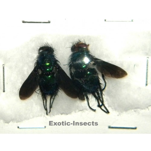 Diptera sp.04 Set of 2