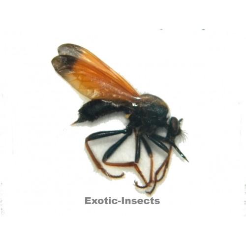 Diptera sp.05