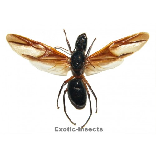 Formicidae sp.06