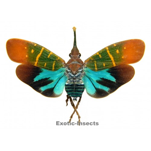 Saiva transversolineata (closed wings)