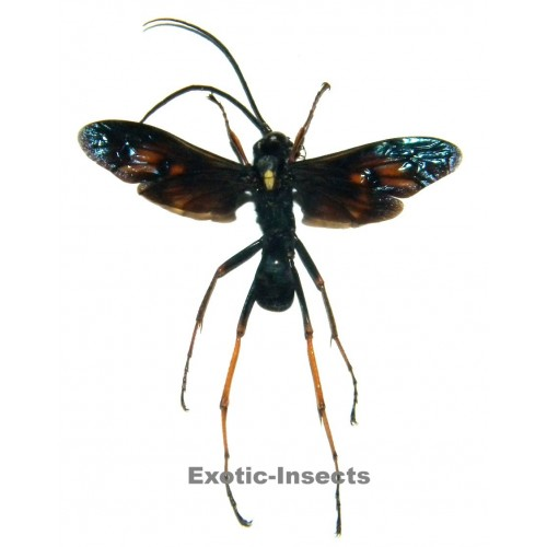 Pompilidae sp.01