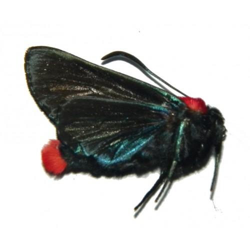 Eucocytia meeki