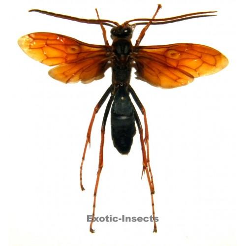Hymenoptera sp.17 (50-59mm)
