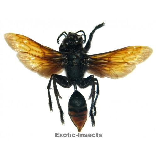 Hymenoptera sp.19