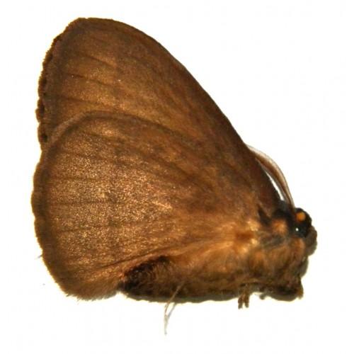 Eupterotidae sp.02