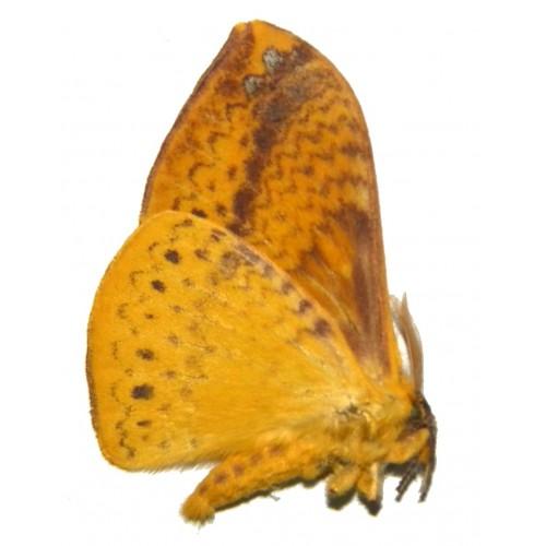 Eupterotidae sp.03