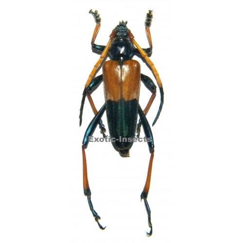 Schmidtiana bicolor