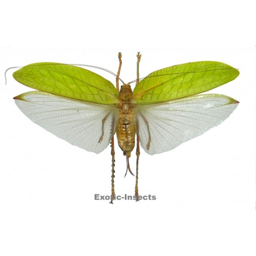 Chloracris prasina (Closed wings)