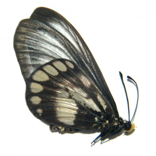 Acraea moluccana dohertyi