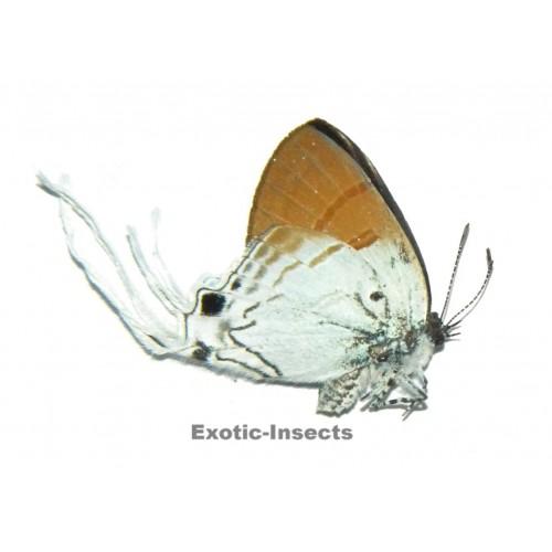 Zeltus amasa pompaedius