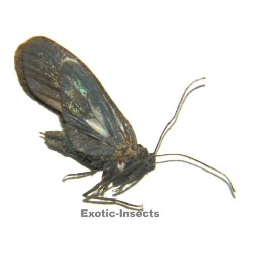 Zygaenidae sp.05