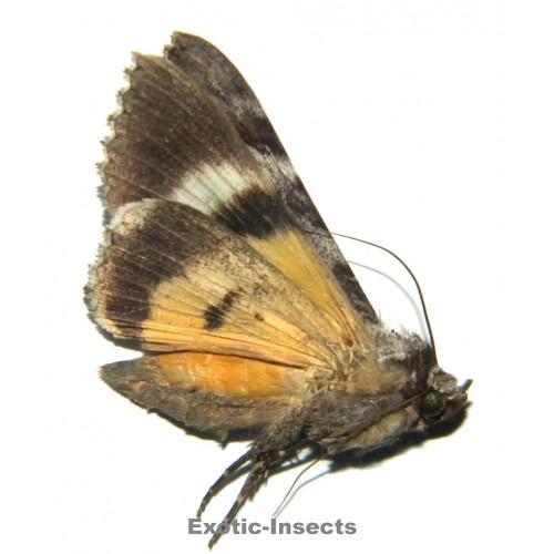 Ulotrichopus dinawa