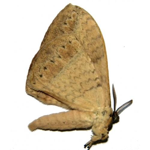 Eupterotidae sp.04