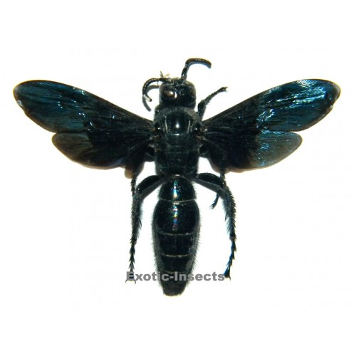 Hymenoptera sp.16 (50-59mm)