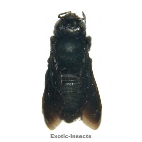 Megachile sp.01