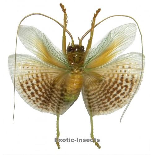Gryllidae sp.12