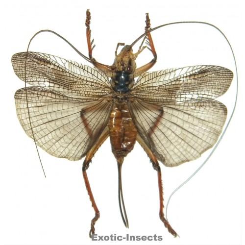 Gryllidae sp.13