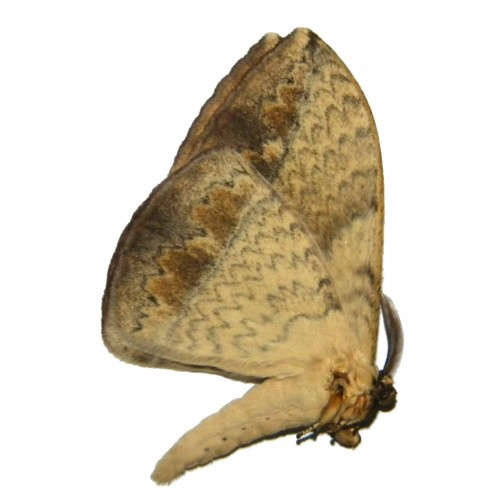 Eupterotidae sp.05