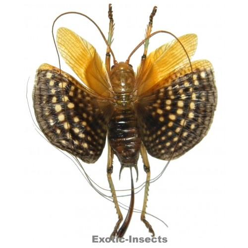 Gryllidae sp.15