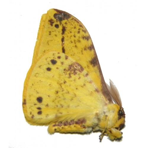 Eupterotidae sp.08