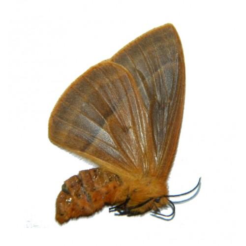 Eupterotidae sp.10