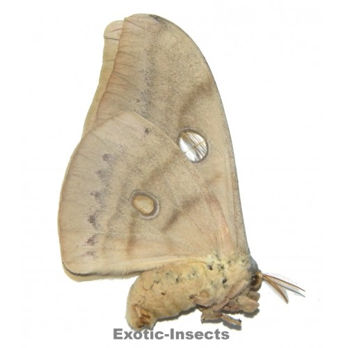 Antheraea ranakaensis