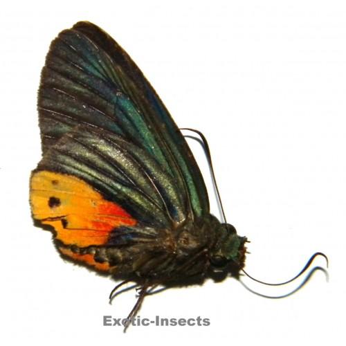 Choaspes illuensis ornatus