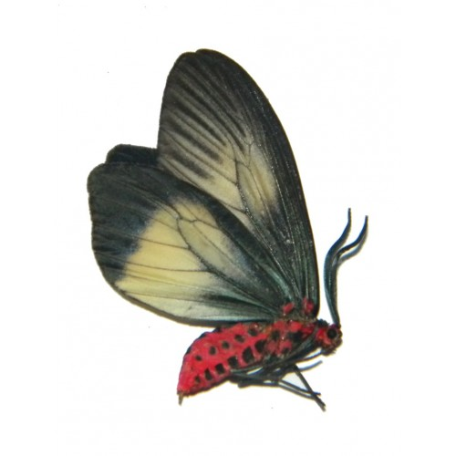 Histia libelluloides baliensis