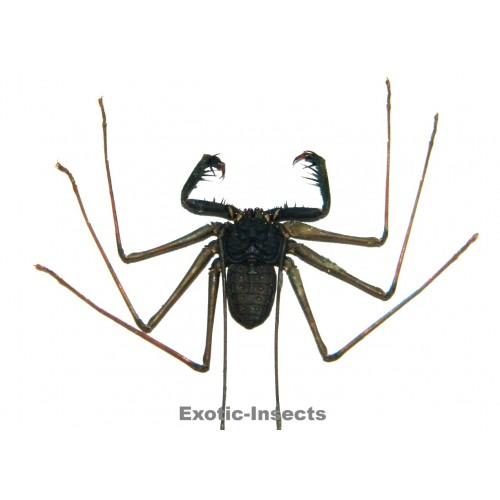 Acanthophrynus coronatus LARGE